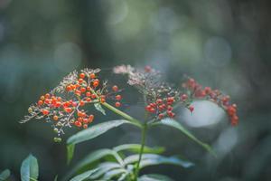 frutti maturi di bacche di sambuco in crescita nella foresta foto