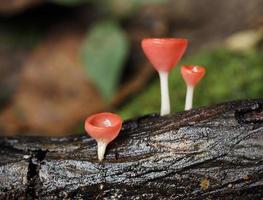 fungo di champagne nella foresta pluviale