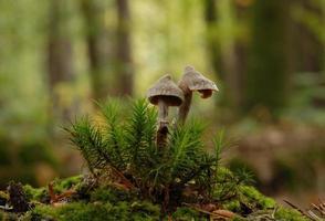 fungo cortinarius paleaceus foto