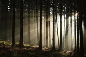 foresta di conifere nebbiosa all'alba