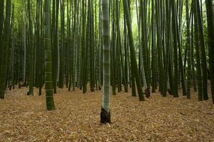 vedute della foresta di bambù foto
