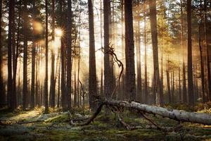 foresta di conifere con il sole del mattino che splende foto