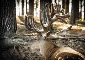 cervo maschio che riposa nella foresta profonda. foto