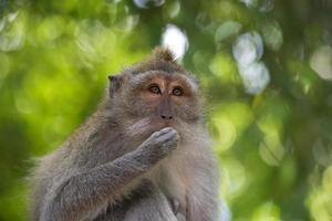 scimmia macaco dalla coda lunga foto