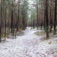 sentiero nella foresta di pini invernali