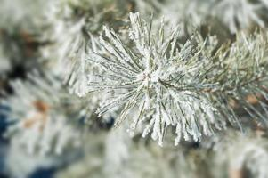 pino con brina nella foresta invernale. foto