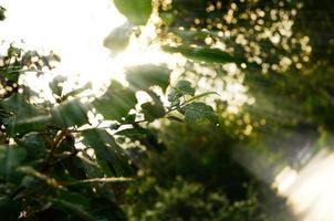 luce del sole del mattino nella foresta estiva foto