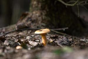 primo fungo autunnale nella foresta foto