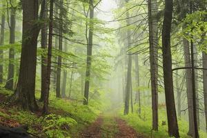 sentiero attraverso la foresta di primavera nebbiosa