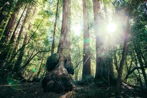 sequoia foto