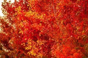 primo piano rosso degli alberi di caduta