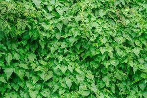 molto verde rampicante foto