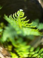 felce spinosa, dryopteris expansa