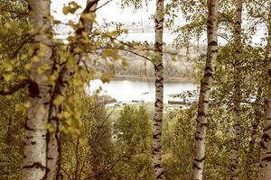 boschetto di betulle d'autunno