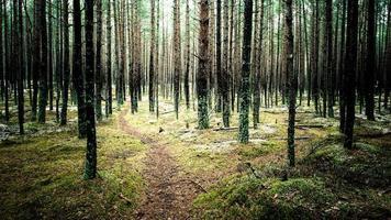 sentiero nella foresta di pini invernali - vintage istantaneo foto