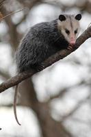 opossum in un albero foto