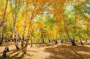 betulle gialle nella foresta di autunno foto