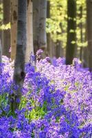 splendidi fiori di campanula nel paesaggio forestale di primavera foto