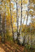 boschetto di betulle sulla riva del lago della foresta