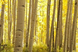 Aspen Grove in autunno