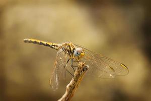 libellula foto