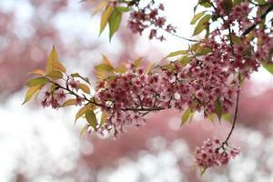albero rosa sakura nella foresta