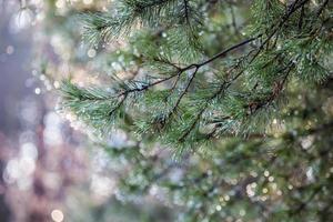 gocce d'acqua su aghi di pino su sfondo sfocato.