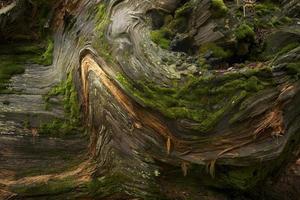 albero di sequoia di sfondo