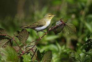Wood Warbler, Phylloscopus sibilatrix, foto
