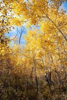 tronchi di pioppo autunno, colorado