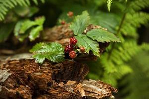 frutti di bosco nel profondo della foresta in catskills foto
