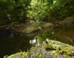 rana di cristallo nella natura selvaggia