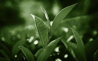 foglie verdi nel concetto di ambiente dello sri lanka foto