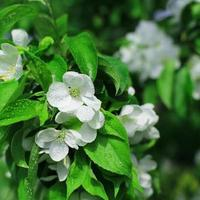 fiori bianchi melo