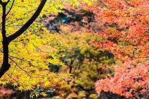 foglie rosse dell'acero in autunno