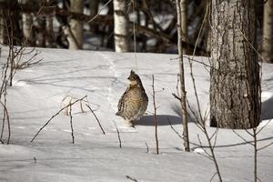 gallo cedrone in inverno foto