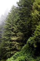 nebbia intorno agli alberi di sequoia