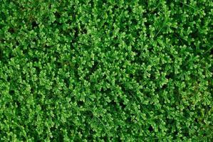 muschio verde foto