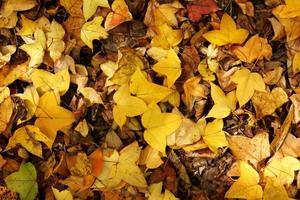 le foglie secche d'acero cadono a terra in autunno.
