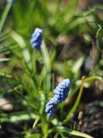 fiori di giacinto murino foto