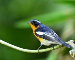 maschio di mugimaki flycatcher, il bellissimo uccello arancione e nero foto