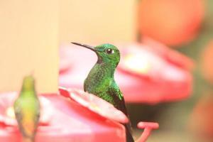 colibrì brillante dalla corona verde sull'attenti