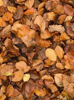 foglie di faggio dorato sul terreno in autunno