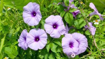 fiori di convolvolo foto
