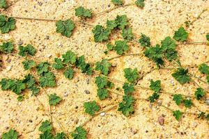edera verde sulla sabbia