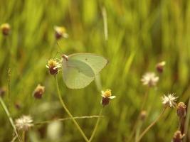 farfalla sul fiore di erba, sfondo di colore vintage