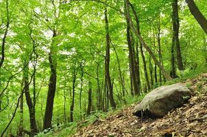 bosco primaverile con grossa pietra nell'angolo inferiore destro