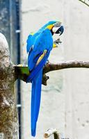 pappagallo ara, seduto su un ramo.