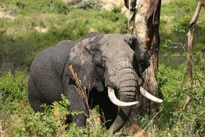 elefante nella foresta, cratere di ngorongoro, savana africana, tanzania, africa foto