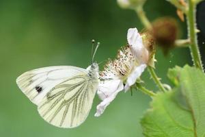 bianco venato di verde, pieris napi foto